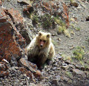 [FOTOS] Turistas capturan imagen de oso que se creía extinto hace décadas