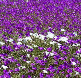 [VIDEO] Este año no habrá desierto florido