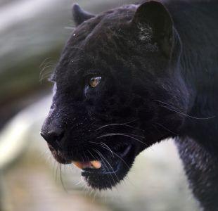 [VIDEO] Atrapan a una pantera negra en un estacionamiento de un hotel de Bélgica