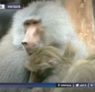 [VIDEO] #HayQueIr: Buin Zoo, un panorama imperdible para el fin de semana