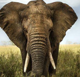 La función de la trompa de los elefantes que quizás no conocías