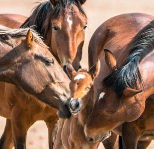 Por qué los míticos caballos salvajes del Lejano Oeste están en el centro de una encendida polémica
