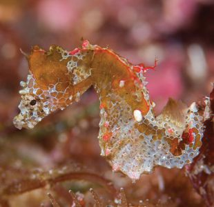 Japapigu, el increíble y diminuto caballito de mar descubierto en Japón que cabe en tu uña