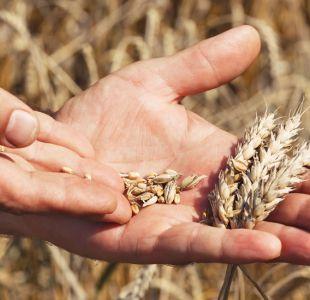 Por qué el que se haya descifrado el genoma del trigo puede revolucionar la alimentación