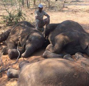 La matanza que dejó decenas de elefantes muertos en Botsuana, último santuario en África para ellos