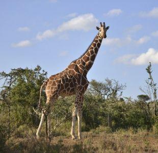 La familia de un científico lucha por su vida tras brutal ataque de una jirafa en Sudáfrica
