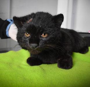 Denuncian violento ataque a gatos güiña: Uno murió y el otro resultó herido