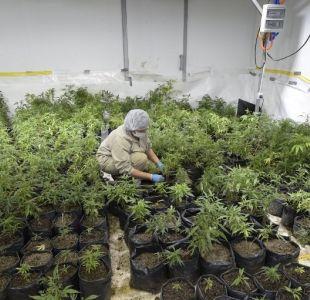 Farmacias uruguayas vendieron más de 1.200 kg de marihuana desde julio de 2017