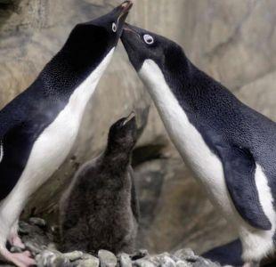 La pareja de pingüinos gay que se llevaron a una cría abandonada y causa drama en Zoo de Dinamarca