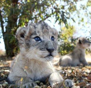 [FOTOS] Nacen los primeros leones concebidos por inseminación artificial