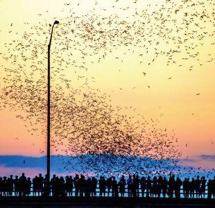 Las fascinantes razones por las que miles de murciélagos migran desde México hacia un puente en EEUU