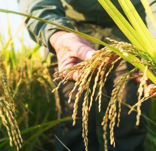 Qué es el arroz esnórquel y por qué será preservado durante cientos de años
