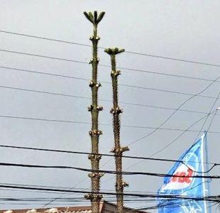 [FOTOS] Denuncian mutilación de araucarias en Temuco