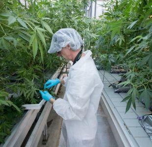 Hasta cuatro plantas por hogar: Canadá aprueba uso de marihuana recreacional