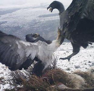 Torres del Paine: Las impresionantes imágenes de la pelea de un cóndor y un águila por una presa