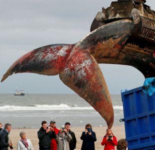 Por primera vez en 20 años una ballena aparece muerta en costas de Bélgica