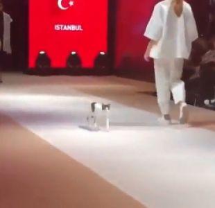 [VIDEO] De gato callejero a estrella de las pasarelas