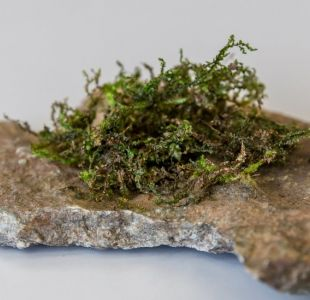 Así es la radula, la planta que puede ser la marihuana del futuro