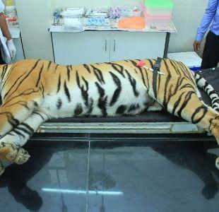 [FOTOS] Una tigresa asesina es abatida en India, tras una enorme batida