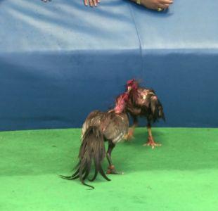 [VIDEO] Veracruz pone fin a las peleas de gallo