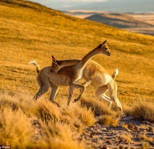 [FOTOS] La tierna pelea de dos vicuñas chilenas que dio la vuelta al mundo