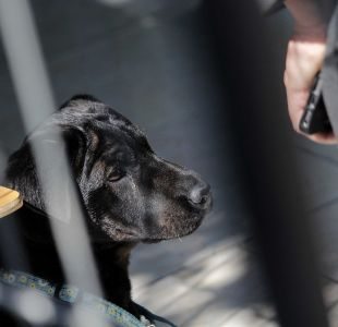 [VIDEO] Dueños de mascotas que muerdan a personas podrían ser multados