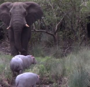 [VIDEO] La lucha de un elefante y tres hipopótamos bebés por el territorio