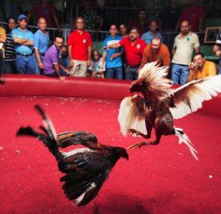 Peleas de gallos en Puerto Rico: la decisión de EEUU de prohibir el deporte nacional de la isla