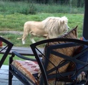 [VIDEO] Vacaciones extremas: arriendan cabaña rodeada por más de 70 leones