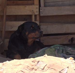 [VIDEO] Bebé de 2 años muere tras mordeduras de perros Rottweiler en Alto Hospicio