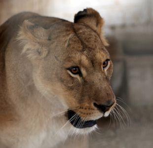 Cuatro cachorros de león mueren congelados en un zoológico dos horas después de haber nacido