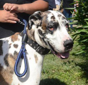 """[FOTOS] Nombran """"embajador de la tenencia responsable"""" al perro más grande de Chile"""