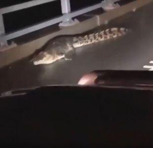 [VIDEO] Australia: Inundaciones llevaron cocodrilos a las calles