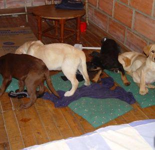 Narco colombiano implantaba heroína en el estómago de cachorros