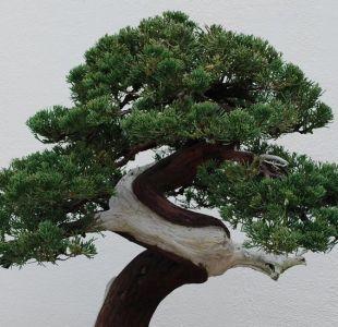 El robo de un bonsái de 400 años en Japón cuyo dueño lo único que pide es que le den agua