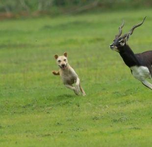 Cómo el mejor amigo del hombre se está convirtiendo en una seria amenaza para otras especies