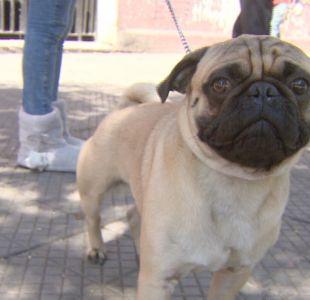 [VIDEO] PDI frustró a balazos robo de perro