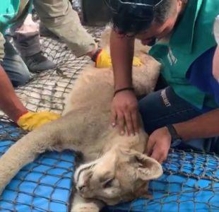 [VIDEO] Rescatan a puma en casa de Chicureo