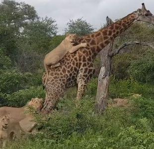 Captan a manada de leones intentando derribar a una jirafa adulta
