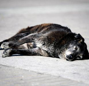 Perros callejeros: Principal preocupación de chilenos según encuesta de calidad de vida