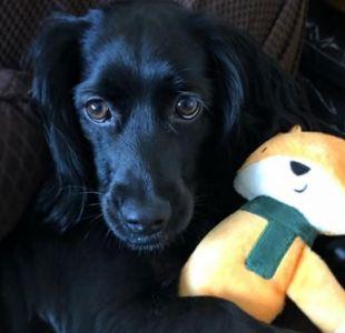 [VIDEOS] Usuarios de redes sociales comparten imágenes de sus mascotas con sus peluches favoritos