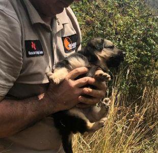 [FOTO] Perrita de tres meses fue rescatada tras incendio en Nacimiento: su madre y hermanos murieron