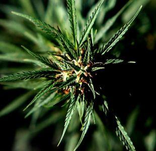 Carabineros incauta 27 plantas de marihuana en casa de La Reina: medían más 3 metros de altura