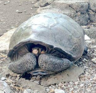 Islas Galápagos: hallan tortuga gigante considerada extinta hace un siglo