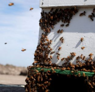 Fumigaciones contra el zika en Estados Unidos mata a millones de abejas