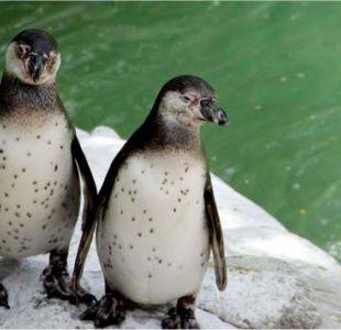 [VIDEO] Pingüinos causan furor al caminar tomados de la mano en una playa