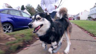 [VIDEO] Derby, el perro sin patas delanteras que volvió a andar con prótesis impresas en 3D