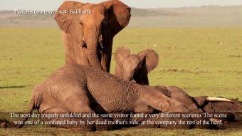 [VIDEO] El rescate de una cría de elefante cuya madre fue asesinada en Kenia por su marfil