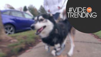 [VIDEO] #VideoTrending: Este es Derby, el perro con prótesis impresas en 3D