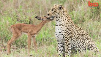[VIDEO] Inesperada amistad: captan a leopardo jugando con un antílope en Sudáfrica